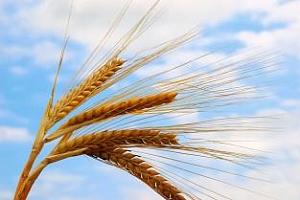 България завърши прибирането на пшеницата