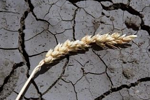 Анализ на ситуацията с лошата реколта от зърно в Русия
