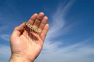 450 хил. рубли за създаването на нов устойчив на сушата сорт пшеница