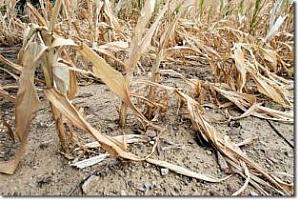 87% от царевичните посеви в САЩ са пострадали от сушата
