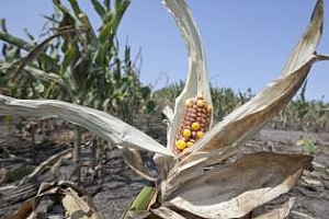 Прогноза, състояние и цени на реколтата от царевица и соя в САЩ