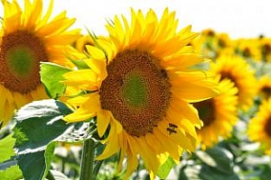 Ниски добиви на слънчоглед от 80 до 150 кг от дка във Видинско