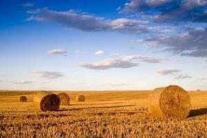 Реколтата от зърнени култури и рапица в Германия през 2012 г. ще бъде по-голяма от очакваното