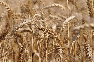 Лимец – най-полезният сорт пшеница
