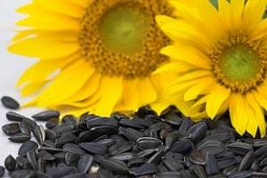 Изкупната цена на слънчогледа е 900 лв/т, за царевица – 450 лв/т