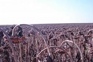 Реколтата от слънчоглед и царевица е много слаба в Търговищки регион