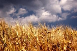 Украйна може да намали износа на зърно