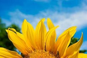 Средният добив на слънчоглед в Търговищко е 192 кг/ дка
