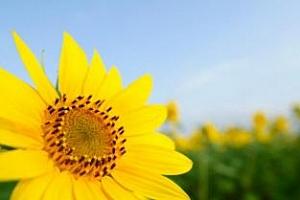 Средният добив от слънчоглед е 176 кг/дка в община Търговище