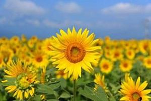 Изкупните цени на слънчогледа в Русия се понижават