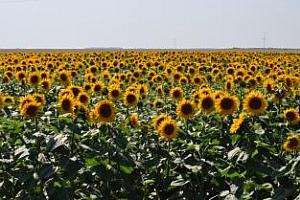 Слънчогледът от Аржентина в пряка конкуренция с Черноморския регион през 2012/13