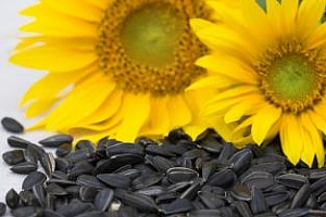 Цените на слънчогледа в България през октомври значително се понижиха