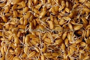 USDA : Само 36% от посевите на зимната пшеница в САЩ са покълнали