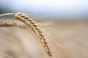 До какво ще доведе забраната за износ на украинска пшеница?