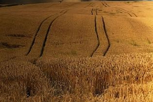 Аржентина ще прибере 5 млн. тона по-малко пшеница от 2011 г.