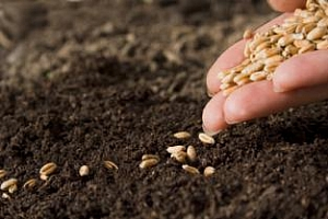 Сеитбата на зимна пшеница в България е към своя край