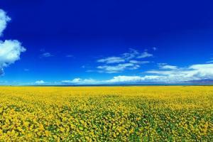 ЕК очаква рекорда маслодайна реколта в България