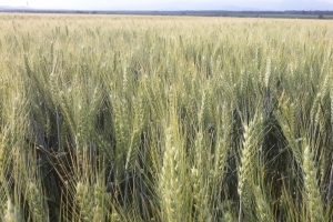 Мелници от Тайван ще внасят пшеница от САЩ