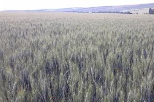 Повече площи с царевица и по-малко със соя изненадват зърнените пазари