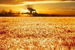 Египет ще провежда първи търг за пшеница през новия сезон
