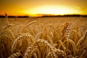 Филипините ще внасят фуражна пшеница
