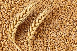 Тунис договаря внос на 67кмт хлебна пшеница