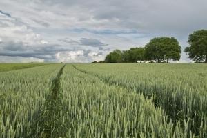 Алжир договаря хлебна пшеница, цените поскъпват