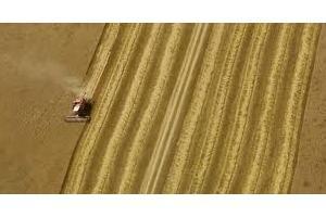 Филипините купуват само 60кмт фуражна пшеница