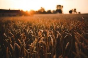 Зърнената реколта в Русия продължава да се смалява