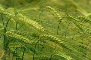 Юнската жега е понижила и зърнената реколта в Германия