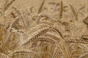 Филипините ще внасят 165кмт фуражна пшеница