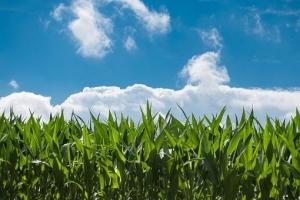 Фуражен завод от Южна Корея ще внася царевица