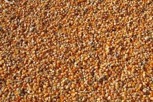 Алжир ще купува фуражна царевица за септември