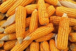 Алжир договаря внос на 40кмт фуражна царевица