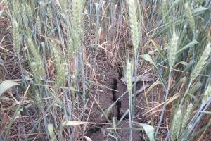 Мароко очаква 49% срив на зърненото производство