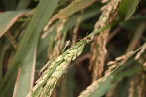 Саудитска Арабия вече ще приема до 0.5% убодена пшеница