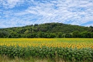 USDA повишава реколтата от слънчоглед в Турция с 0.2Ммт