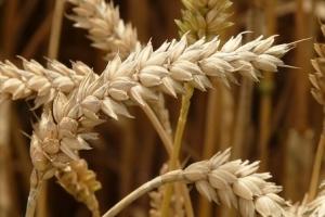 Тайланд ще внася фуражна пшеница за ноември 2019