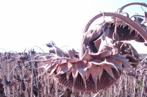 Зърнените пазари остават в търсене на сезонното дъно
