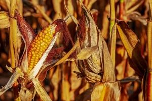 Благоприятно време поддържа ценовия натиск на зърнените пазари