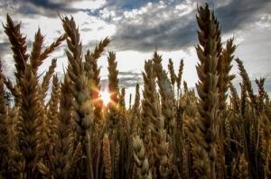 Румънска пшеница отстранена от алжирски търг