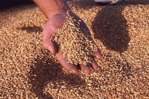 Индия е прибрала рекордна реколта от пшеница
