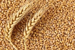 Цените на Балтийската хлебна пшеница поевтиняват