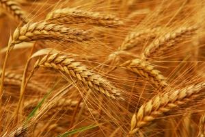 Турция купува много пшеница и то на ниски цени