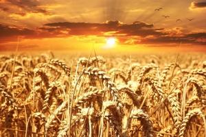 Саудитска Арабия договаря внос на 780кмт хлебна пшеница