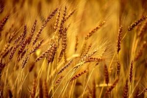 Турция купува твърда пшеница и фуражен ечемик