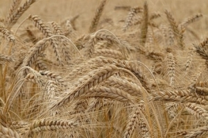 Алжир ще внася хлебна пшеница за ноември 2019