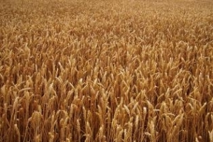 Условията за есенната сеитба в Черноморския регион се влошават