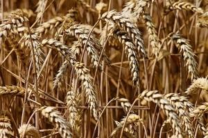 Търгове за пшеница подкрепят цените на зърнените пазари