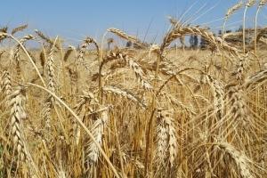 Алжир купува 600кмт хлебна пшеница, цените поевтиняват